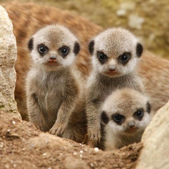 angry-meerkats